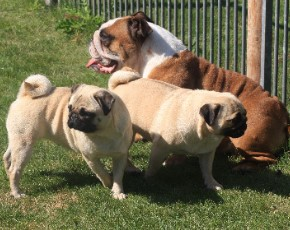 Giny and her pugfriends